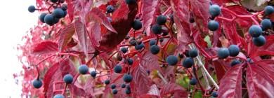 Осенняя лоза с ягодами
