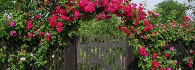 Плетистые розы отлично подходят для оформления арки над калиткой