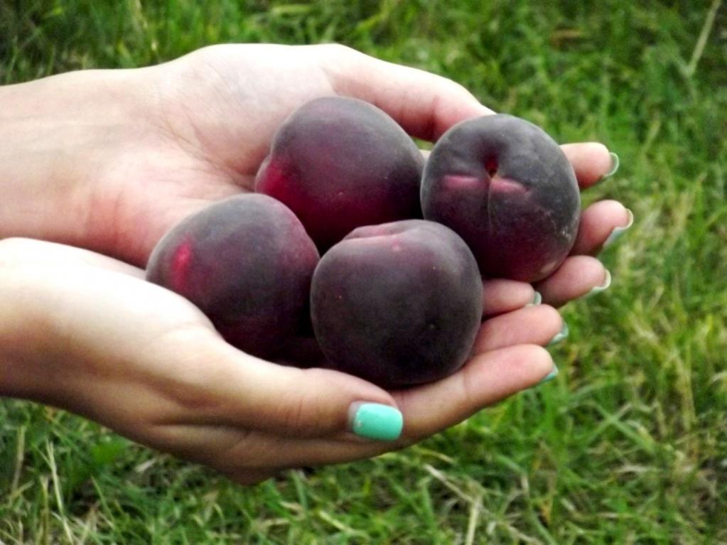 Черный абрикос - выходец из Азии