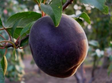 chernyj-abrikos