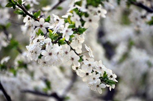 [:ua]Квітуча алича надзвичайно красива[:ru]Алыча очень красива в цвету и сможет отлично украсить ваш сад весной[:]