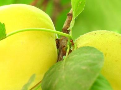 Абрикос ананасный: описание, посадка и особенности ухода