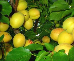 Размер плодов – выше среднего