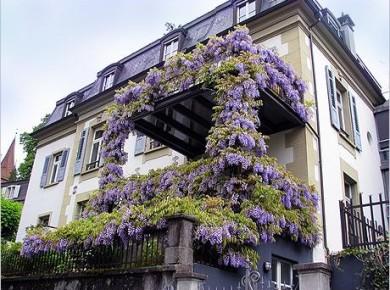Вьющиеся цветы для балкона - создайте собственный оазис!