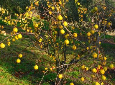 Айва неприхотлива к зоне посадки – может расти и на ровной местности и на склоне