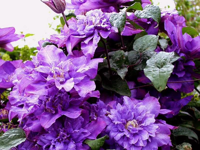 Махровые клематисы - гордость садовода