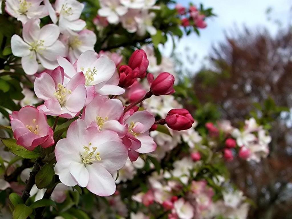 Плодовое дерево - не только польза, но и украшение Вашего сада в весенне-летний период!