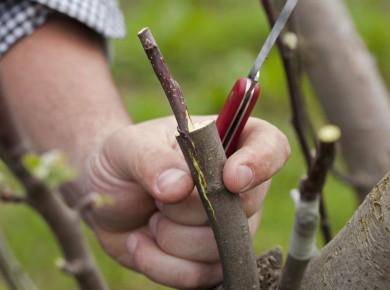 Прививка плодового дерева как способ разнообразить урожай