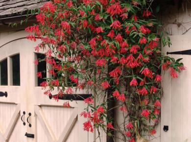 Жимолость вьющаяся – изысканное украшение сада, уход за которым легок и прост