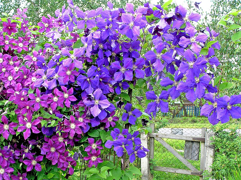 Яркое, сочное и обильное цветение обеспечено клематису только в хорошо освещенных местах