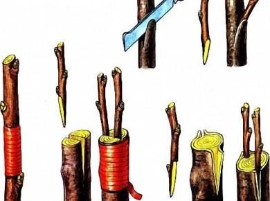 Основные методы прививки плодового дерева