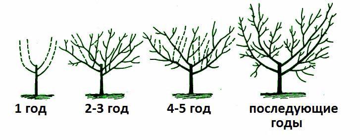 Схема обрезки айвы