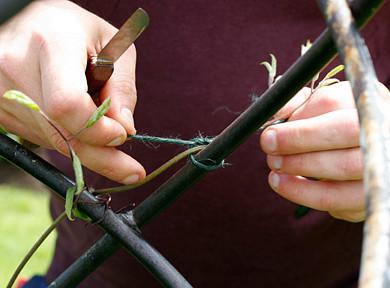 Как правильно осуществлять уход за садовыми клематисами?