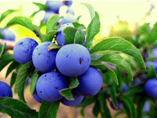 Слива всегда порадует Вас и Ваших близких отличным вкусом и полезными свойствами!
