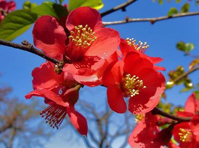 Айва в цвету