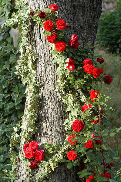 Дерево, как опора для вьющихся цветов