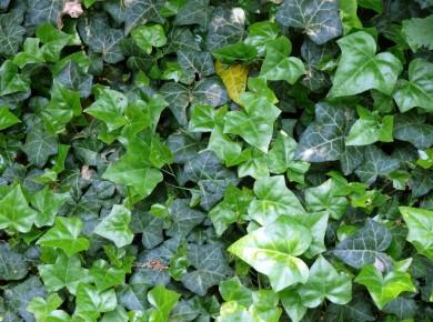 Размножение плюща отводом – лучший способ формирования сплошной зеленой лиственной завесы