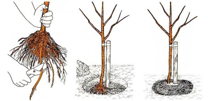 Схема посадки алычи