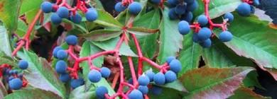 Ягоды только по цвету напоминают виноград