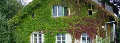 Плющ отлично декорирует фасады зданий, изгороди, беседки