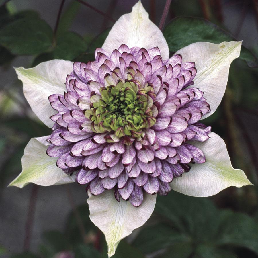 Серцевина, как правило, другого цвета, что делает цветок особенно прелестным