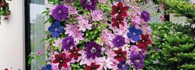 Существует несколько сот видов клематиса и около 2000 его расцветок