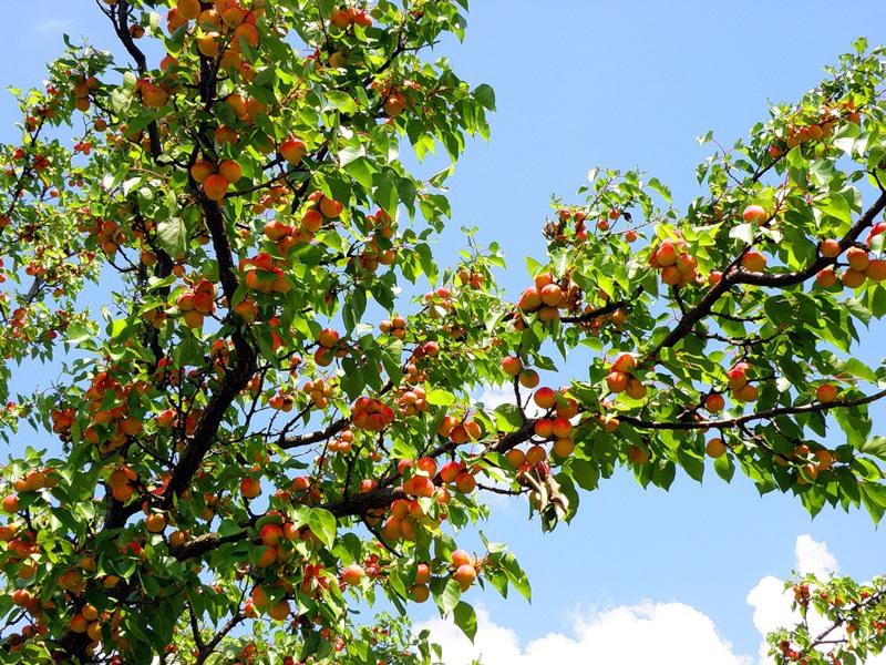 В саду каждого огородника просто обязан расти абрикос