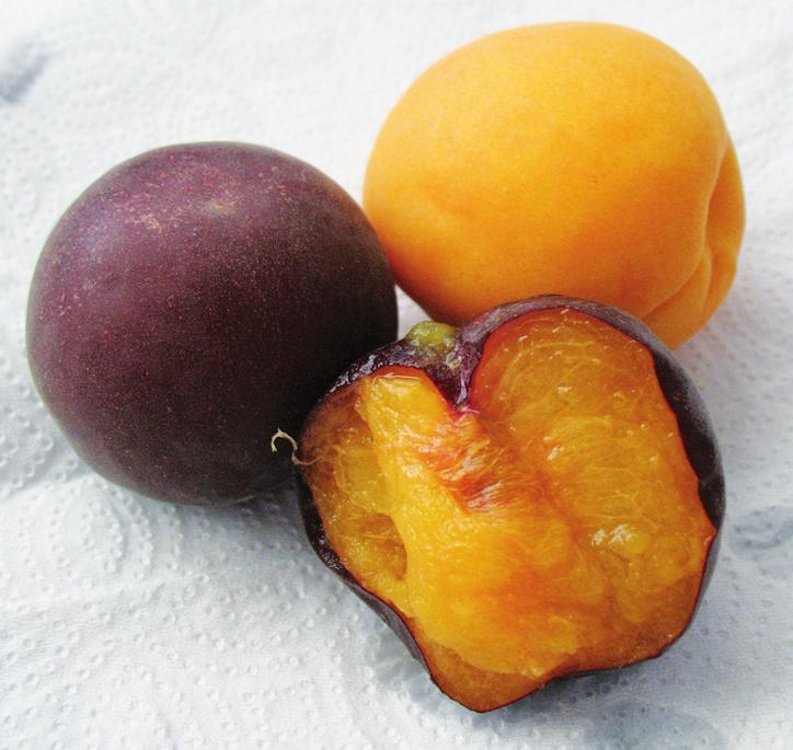 Экзотический для Украины сорт темного абрикоса