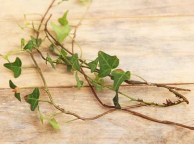 Каждый отрезок (черенок) должен иметь свой корень и несколько листьев