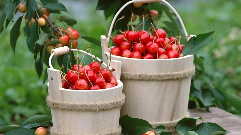 Спелые вишни