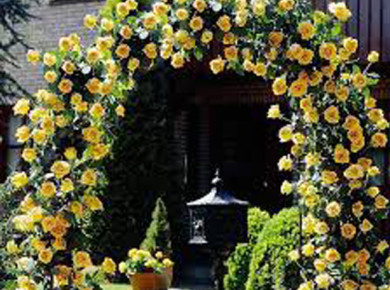 Желтые плетистые розы или королевское украшение для дачи