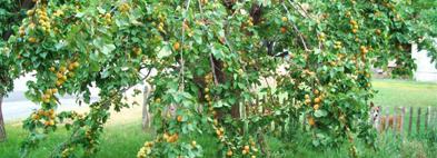Одними из наиболее популярных у садоводов считаются ананасовые абрикосы