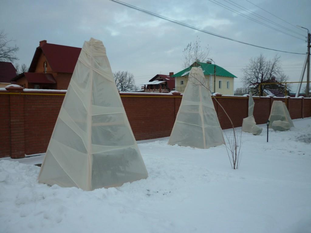 От мороза и обледенения следует беречь не только корни, но и побеги растения.
