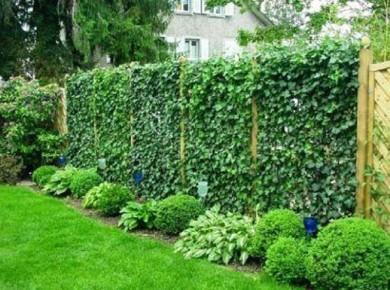 Плющ - выращивание без хлопот