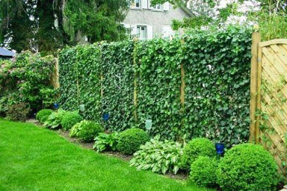 Использование плюща для вертикального озеленения