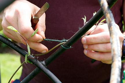 Выбор вида обрезки клематиса зависит от группы обрезки, к которой он относится.