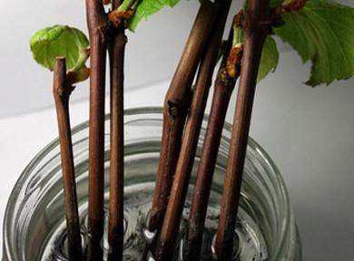 Девичий виноград - размножение