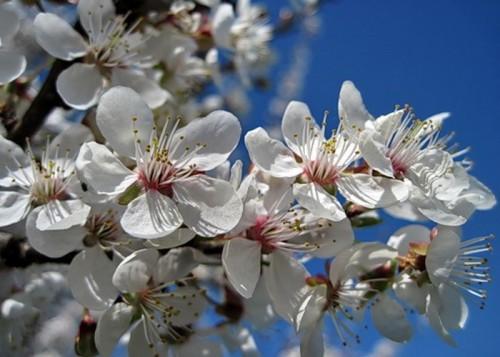 Цветение алычи