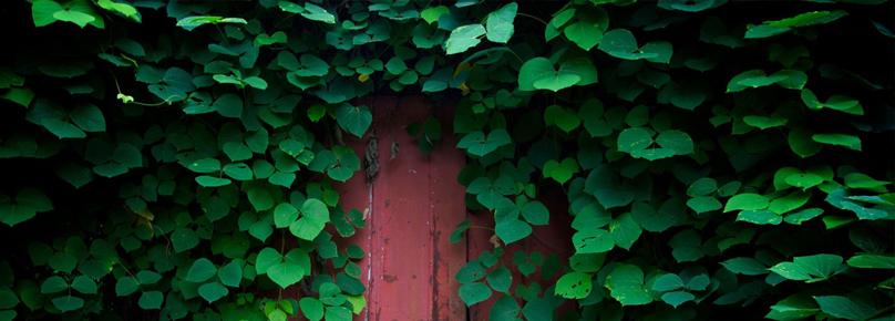 Универсальность плюща заключается в сочетании простоты ухода за растением и его долголетия