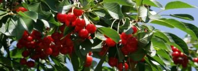 Урожай степной вишни